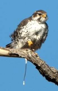 Prairie Falcon_LasVegasNWR-NM_LAH_8845f
