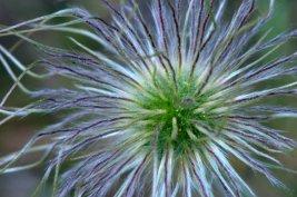 Pasque Flower seedhead (Pulsatilla patens)