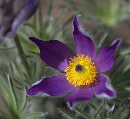 Pasque Flower (Pulsatilla vulgaris)