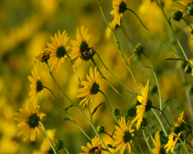 Sunflowers_RedLionSWA-LoganCo-CO_LAH_2282