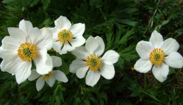 Globeflower (Trollius albiflorus)