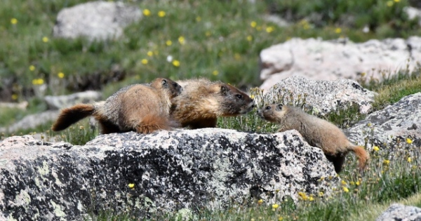 Yellow-bellied Marmots_MtEvans-CO_LAH_5999