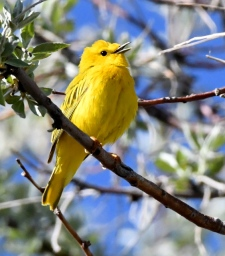Yellow Warbler_Alamosa-CO_LAH_1103