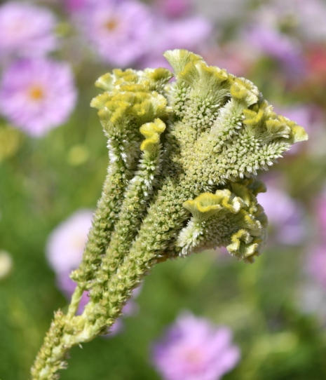 Cockscomb (Celosia aristata)