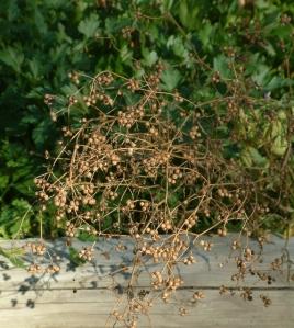 Cilantro seeds @Holzmann garden 26sept05 LAH 009