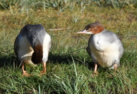 Common Merganser_ManitouLake-CO_LAH_8043