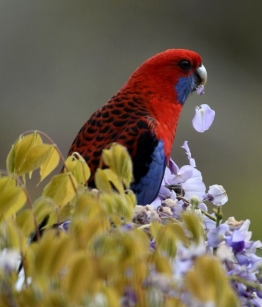Crimson Rosella_Faulconbridge-NSW-Australia_LAH_1484