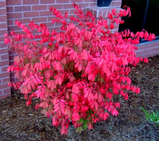 Burning bush, Euonymus alata