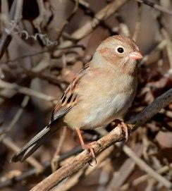 Field Sparrow_Seneca-SC_LAH_1110