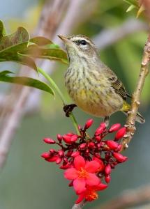 Palm Warbler_CapeCoral-FL_LAH_5520