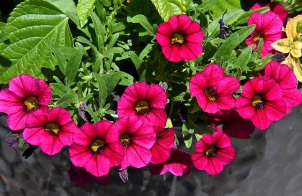 Petunias_DBG_LAH_3259