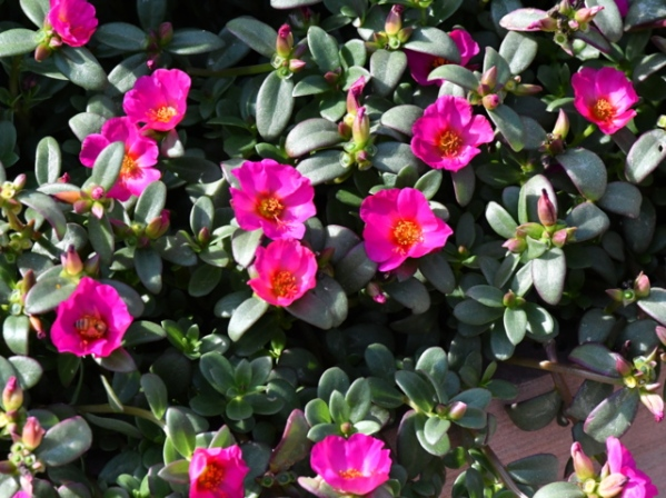 Portulaca oleracea 'Toucan Fuchsia'_Purslane_DBG-CO_LAH_7226