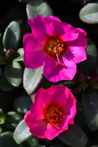 Purslane (Portulaca oleacea)