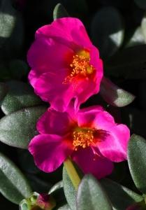 Portulaca oleracea 'Toucan Fuchsia'_Purslane_DBG-CO_LAH_7231