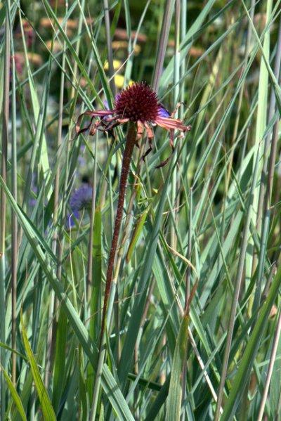Praying Mantis on Coneflower stem_XG-CO_LAH_2974