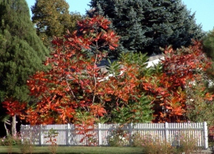 Staghorn sumac, Rhus typhina