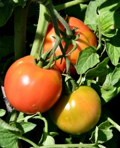 Tomato_DBG-CO_LAH_7330