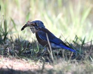 Western Bluebird_ManitouLake-CO_LAH_8501