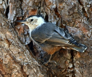 White-breasted Nuthatch_ManitouLake-CO_LAH_8466