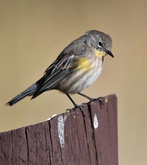 Yellow-rumped Warbler_ManitouLake-CO_LAH_8308