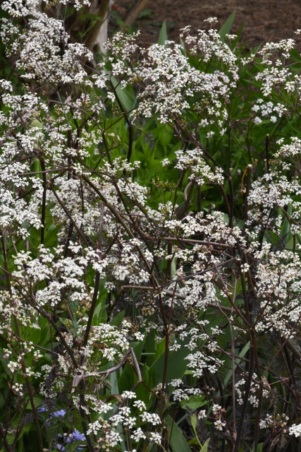 'Ravenswing' Cow Parsley (Anthriscus sylvestris)