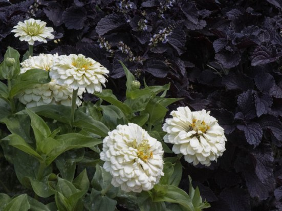 Black coleus & White zinnias_DBG-CO_LAH_7679r
