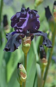 Black Iris germanica_Bearded Iris_DBG-CO_LAH_6477