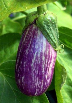Eggplant_DBG_LAH_7643