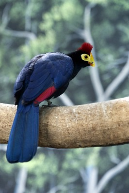 Lady Ross' Turaco