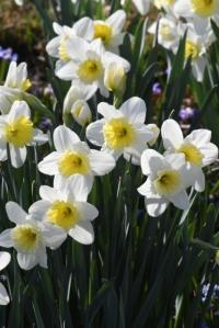 Narcissus_Daffodil_DBG-CO_LAH_5923