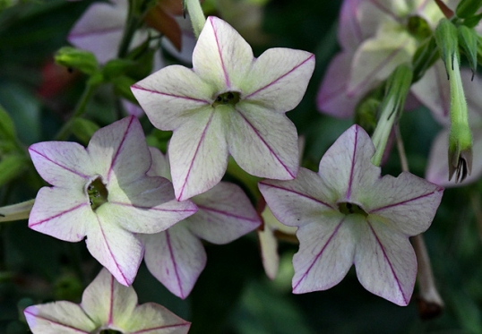 Flowering Tobacco (Nicotiana)
