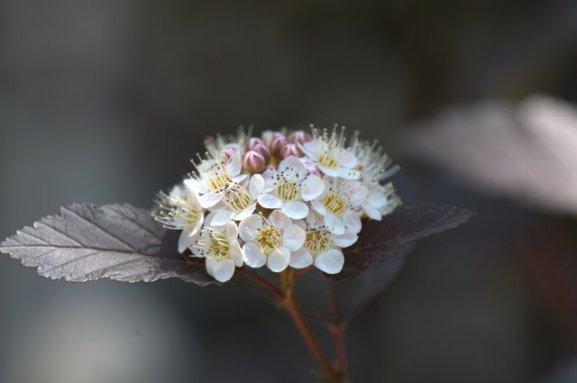Ninebark 'Diablo' (Physocarpus opulifolius)
