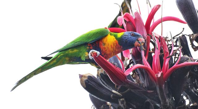 Rainbow Lorikeet on Doryanthes excelsa_Gymea Lily_RoyalBotanicGardens-Sydney-NSW-Australia_LAH_7268r