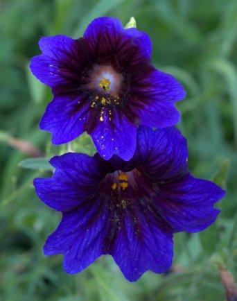 """Salpiglossis sinuata """"Kew Blue'"""
