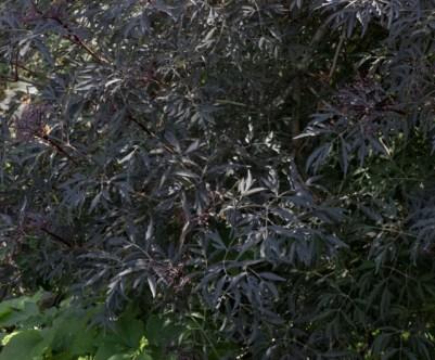 European Elder (Sambucus nigra 'Black Lace')