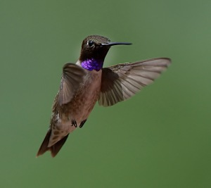 Black-Chinned Hummingbird_RedRocksRanch-Hwy115-CO_LAH_3761f