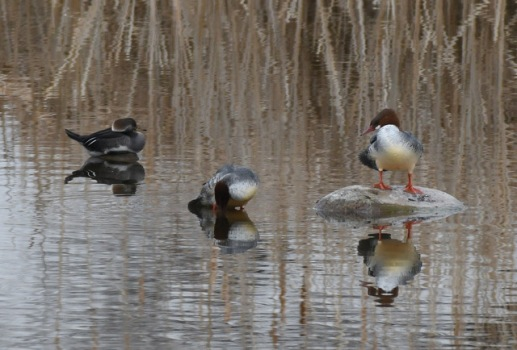 Hooded (left) & Common Mergansers