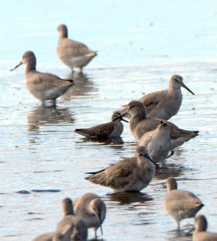 Willets & smaller sandpiper