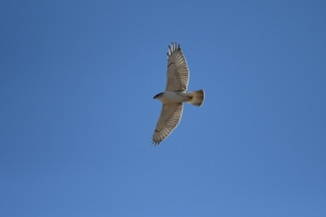 "Ferruginous Hawk, 56"" wingspan"