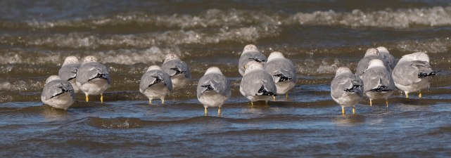 Ringed-billed Gulls