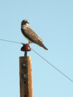 "Swainson's Hawk, 19"" long"