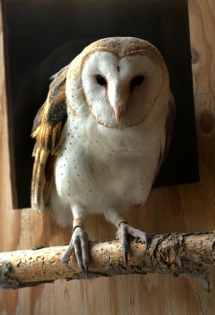Barn Owl_CheyenneMtnZoo-CO_LAH_4818
