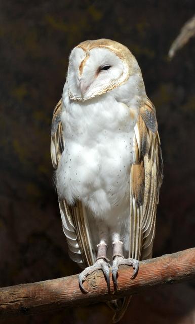Barn Owl_CheyenneMtnZoo-CO_LAH_5139