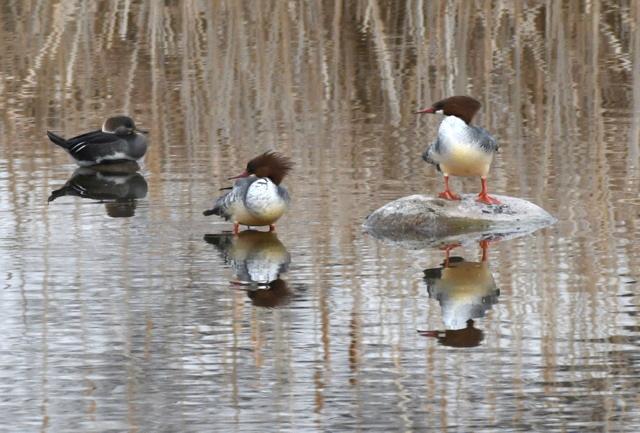 Common Merganser_Winter Bird Count_FCNC-CO_LAH_2471-001