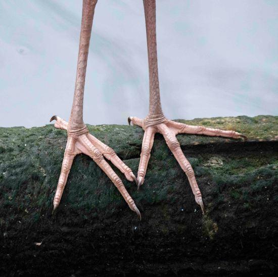 Great Egret feet_HomosassaSP-FL_LAH_8290