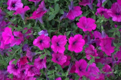 Petunia 'Tidal Wave Purple''