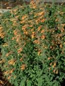 Agastache aurantiaca 'Coronado'
