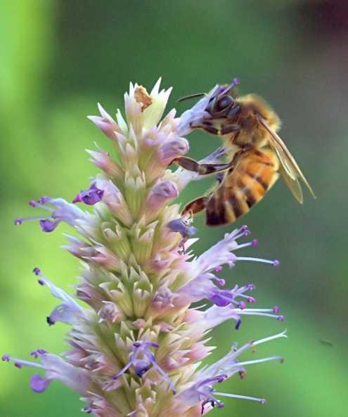 Honeybee on Agastache