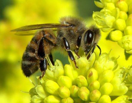 Honeybee on sulphur flower (Eriogonum umbellatum)