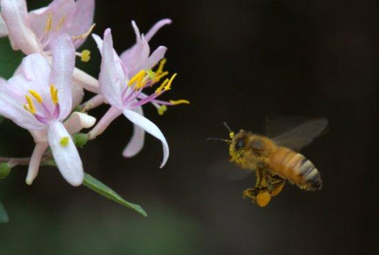 Bee on Lonicera korolkowii_Blue Leaf Honeysuckle 'Blue Velvet'_HudsonGardens-CO_LAH_5781